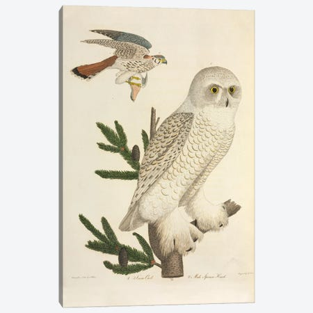 Snowy Owl And Sparrow Hawk Canvas Print #NHM617} by Natural History Museum (UK) Art Print