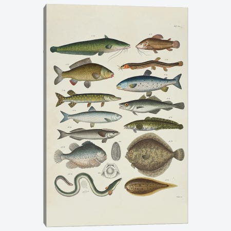 Soft-Finned Canvas Print #NHM618} by Natural History Museum (UK) Canvas Artwork