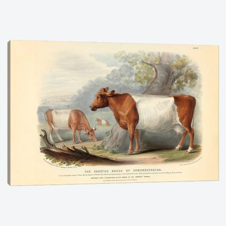 Somerset Cattle, 19th Century By William Nicholson Canvas Print #NHM619} by Natural History Museum (UK) Canvas Wall Art