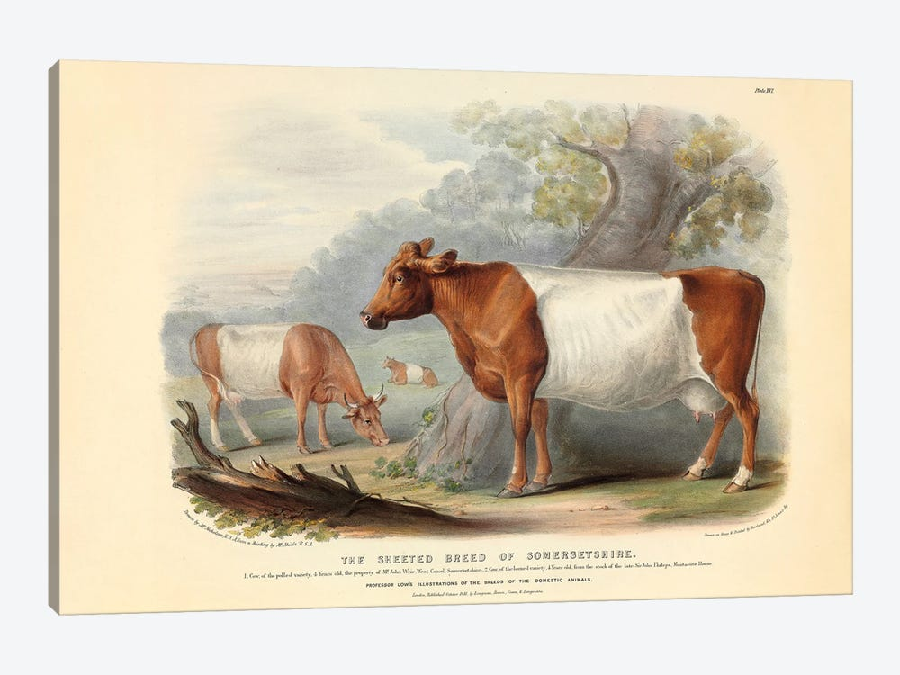 Somerset Cattle, 19th Century By William Nicholson by Natural History Museum (UK) 1-piece Canvas Artwork