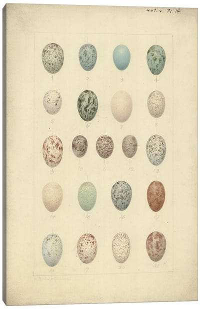Antique Bird Eggs I - From 'Catalogue Of The Collection Of Birds' Eggs In The British Museum'. By Henrik Gronvold Canvas Art Print