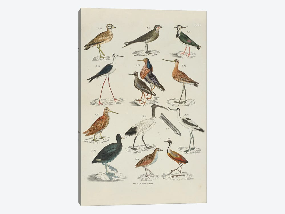 Storks; Snipes by Natural History Museum (UK) 1-piece Art Print