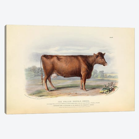 Suffolk Cattle, 19th Century By William Nicholson Canvas Print #NHM632} by Natural History Museum (UK) Canvas Art