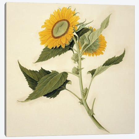Sunflower, Plate 578 From The John Reeves Collection Of Botanical Drawings From Canton, China Canvas Print #NHM633} by Natural History Museum (UK) Canvas Wall Art