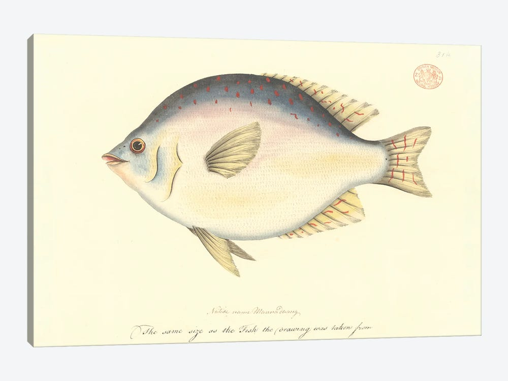 Sweep, Watercolour 378 By The Port Jackson Painter, Entitled Mannadaang, From The Watling Collection by Natural History Museum (UK) 1-piece Canvas Wall Art