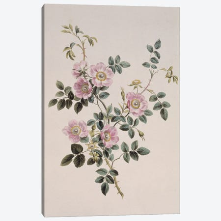 Sweet Briar Rose, Folio 49 From A Collection Of Flowers (1795) By John Edwards Canvas Print #NHM638} by Natural History Museum (UK) Canvas Art