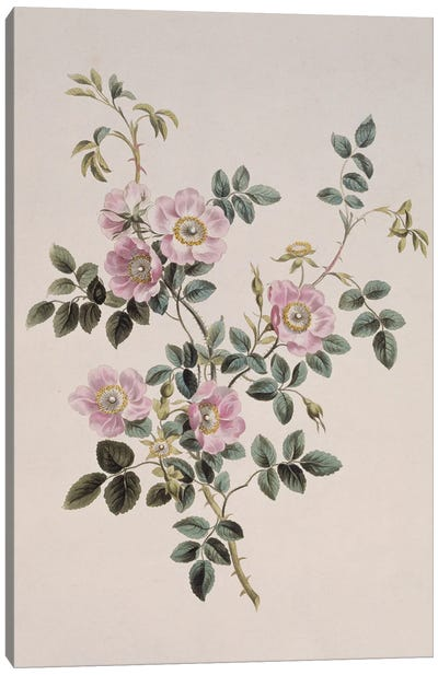 Sweet Briar Rose, Folio 49 From A Collection Of Flowers (1795) By John Edwards Canvas Art Print