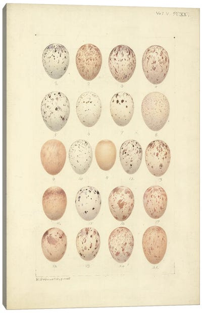 Antique Bird Eggs III - From 'Catalogue Of The Collection Of Birds' Eggs In The British Museum'. By Henrik Gronvold Canvas Art Print