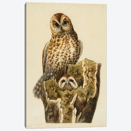 Tawny Owls Canvas Print #NHM645} by Natural History Museum (UK) Canvas Artwork