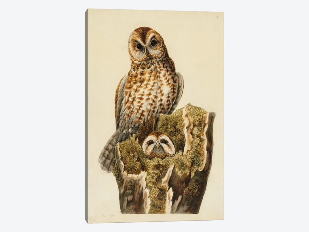 Tawny Owls by Natural History Museum (UK) 1-piece Art Print