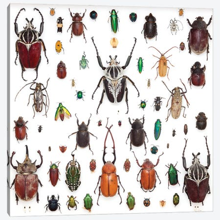 Trays Of Various Beetle Specimens Canvas Print #NHM670} by Natural History Museum (UK) Canvas Art