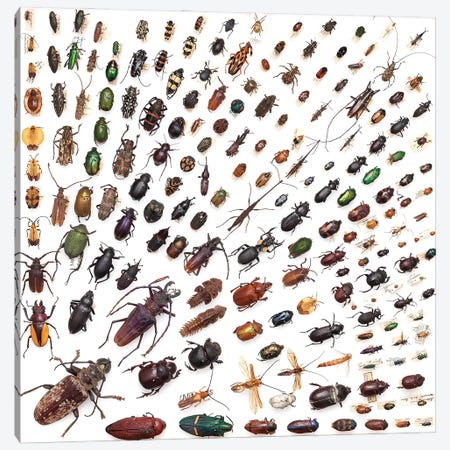 Trays Of Various Beetle Specimens I Canvas Print #NHM671} by Natural History Museum (UK) Canvas Artwork