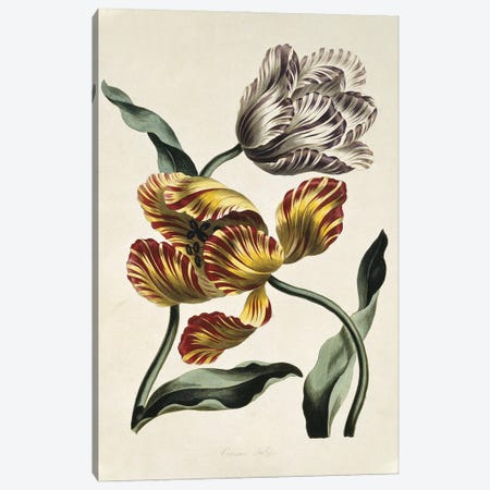 Various Tulips, Folio 44 From A Collection Of Flowers (1795) By John Edwards Canvas Print #NHM689} by Natural History Museum (UK) Canvas Print