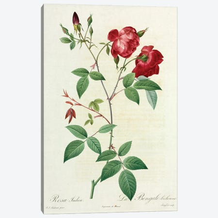 Velvet China Rose, Painting By Pierre Joseph Redoute (1759-1840) Canvas Print #NHM691} by Natural History Museum (UK) Canvas Art