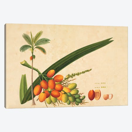 Areca Sp., Plate 987 From The John Reeves Collection Of Botanical Drawings From Canton, China Canvas Print #NHM69} by Natural History Museum (UK) Canvas Artwork