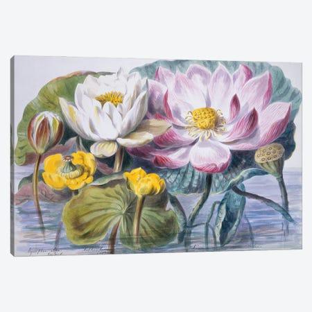 Water Lilies, Plate 9 From The Chief Natural Orders Of Plants (1849) Canvas Print #NHM700} by Natural History Museum (UK) Canvas Wall Art