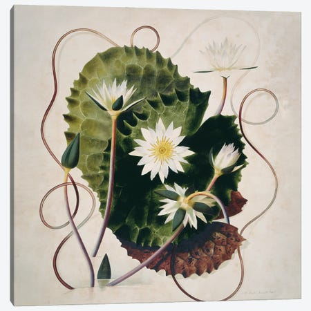 Water Lily, Watercolour No. 15 By Ralph Stennett, 1806. Held In The Botany Library At The Natural History Museum, London Canvas Print #NHM701} by Natural History Museum (UK) Canvas Artwork
