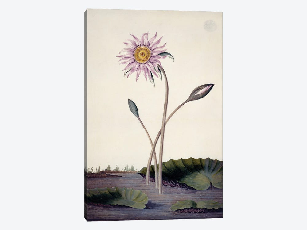 Water Lily, Watercolour On Vellum By Sydney Parkinson (1745-1771) by Natural History Museum (UK) 1-piece Canvas Print