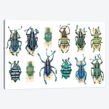Weevils I Canvas Print #NHM703} by Natural History Museum (UK) Canvas Wall Art