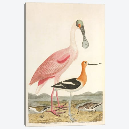 Roseate Spoonbill; American Avocet; Calidr Canvas Print #NHM712} by Natural History Museum (UK) Canvas Art Print