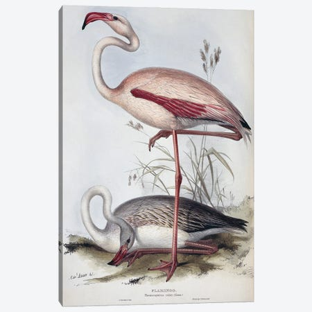 Greater Flamingo, Plate 287 Hand Coloured Lithograph From The Birds Of Europe, Vol. 4 (1832-37) By John Gould Canvas Print #NHM714} by Natural History Museum (UK) Canvas Wall Art