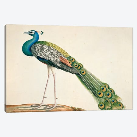Indian Peafowl, Plate 88, From The Loten Collection Of Coloured Drawings Of Birds, Mammals, Insects And Plants, (1754-57) Canvas Print #NHM715} by Natural History Museum (UK) Canvas Art