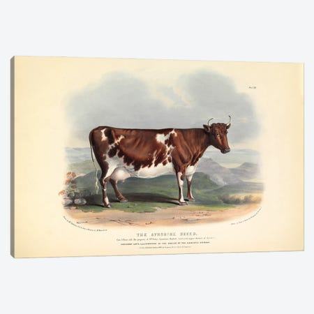 Plate 13 From The Breeds Of The Domestic Animals Of The British Islands Vol. 1, 1842 The Ayreshire Breed Canvas Print #NHM723} by Natural History Museum (UK) Canvas Art