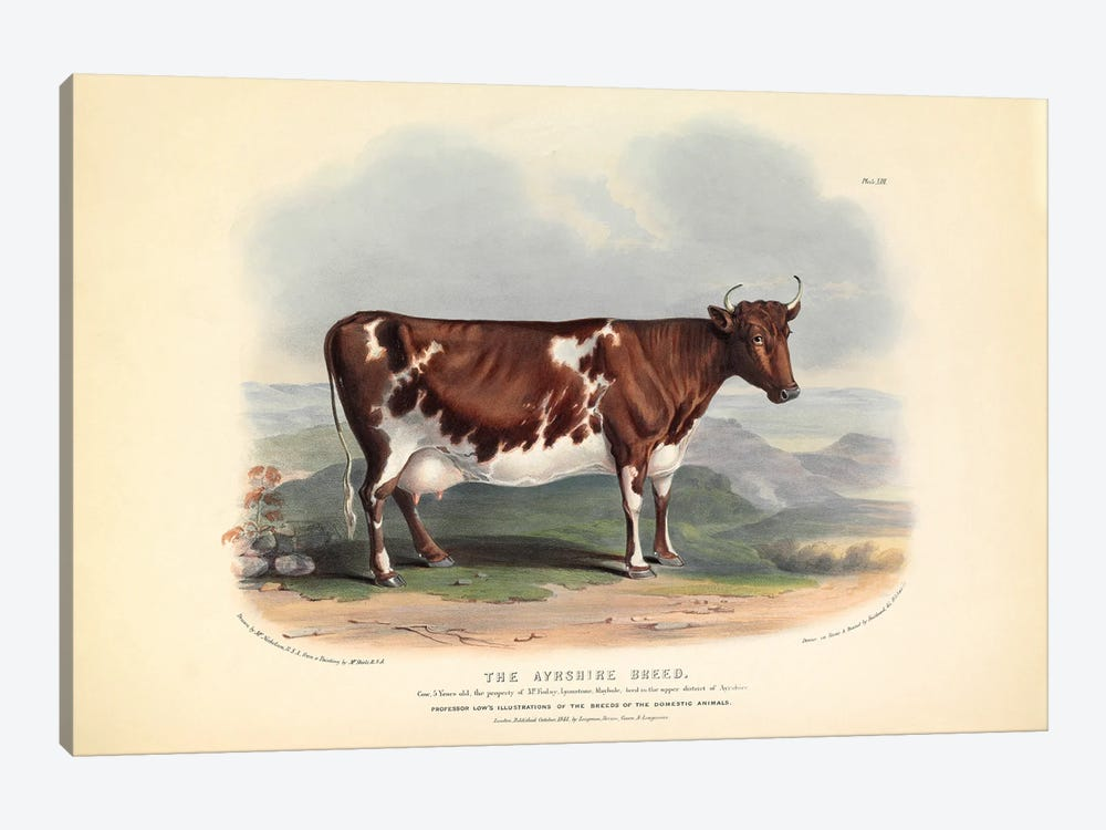 Plate 13 From The Breeds Of The Domestic Animals Of The British Islands Vol. 1, 1842 The Ayreshire Breed by Natural History Museum (UK) 1-piece Canvas Art