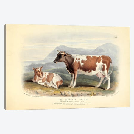 Plate 14 From The Breeds Of The Domestic Animals Of The British Islands Vol. 1, 1842 The Alderney Breed Canvas Print #NHM725} by Natural History Museum (UK) Canvas Art Print