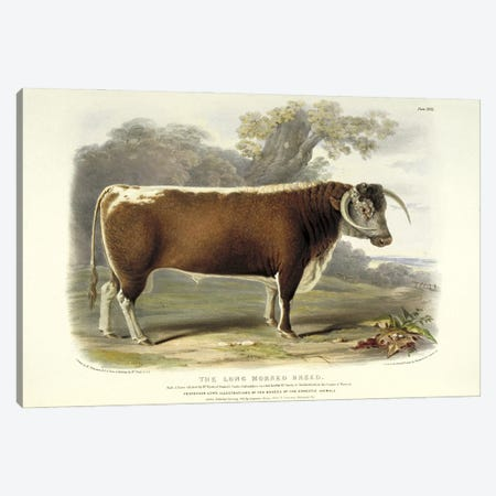 Plate 18 From The Breeds Of The Domestic Animals Of The British Islands Vol. 1, 1842 The Long Horned Breed Canvas Print #NHM730} by Natural History Museum (UK) Art Print