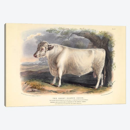 Plate 19 From The Breeds Of The Domestic Animals Of The British Islands Vol. 1, 1842 The Short Horned Breed Canvas Print #NHM731} by Natural History Museum (UK) Canvas Print