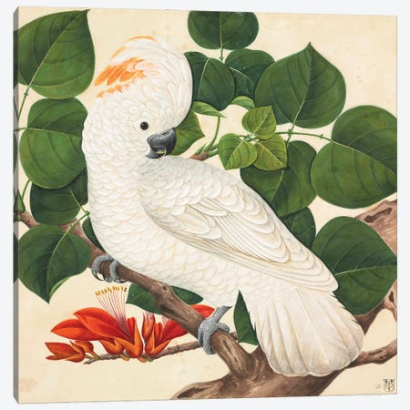 Salmon-Crested Cockatoo, Large Series Plate 24, A Watercolour From The John Reeves Collection Of Zoological Drawings Canvas Print #NHM749} by Natural History Museum (UK) Canvas Artwork