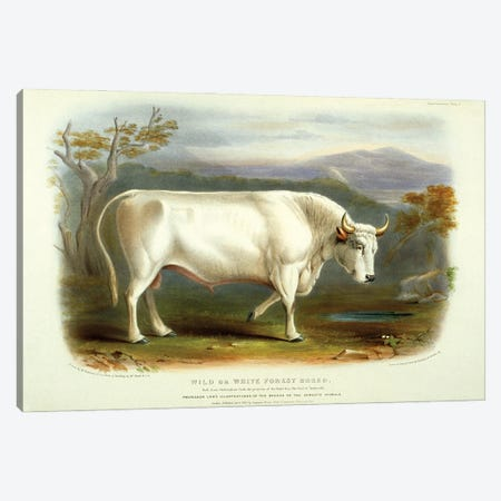 Supplementary Plate 1 From The Breeds Of The Domestic Animals Of The British Islands Vol. 1, 1842, Wild Or White Forest Breed Canvas Print #NHM752} by Natural History Museum (UK) Art Print