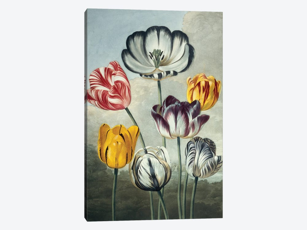 Tulips, Illustration From The Temple Of Flora By Robert John Thornton (1768_-1837). by Natural History Museum (UK) 1-piece Canvas Print