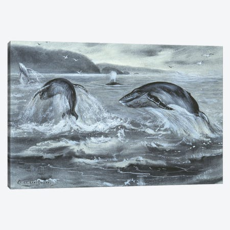 Whale, Plate From A Collection Of Pencil Sketches And Watercolour Drawings Of British Mammals Canvas Print #NHM762} by Natural History Museum (UK) Canvas Artwork