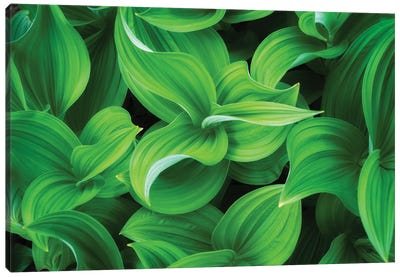 Corn Lillies, Mt. Rainier National Park Canvas Art Print