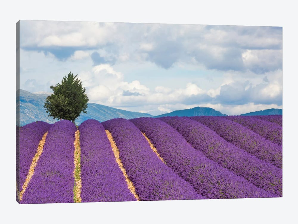 Ready For Harvest, Provence, France by Jim Nilsen 1-piece Canvas Art Print
