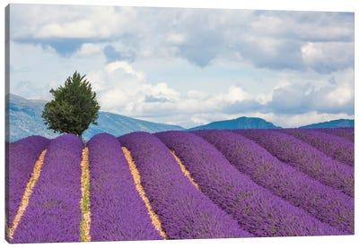 Ready For Harvest, Provence, France Canvas Art Print