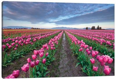 Skagit Bloom, Skagit Valley, Washington Canvas Art Print