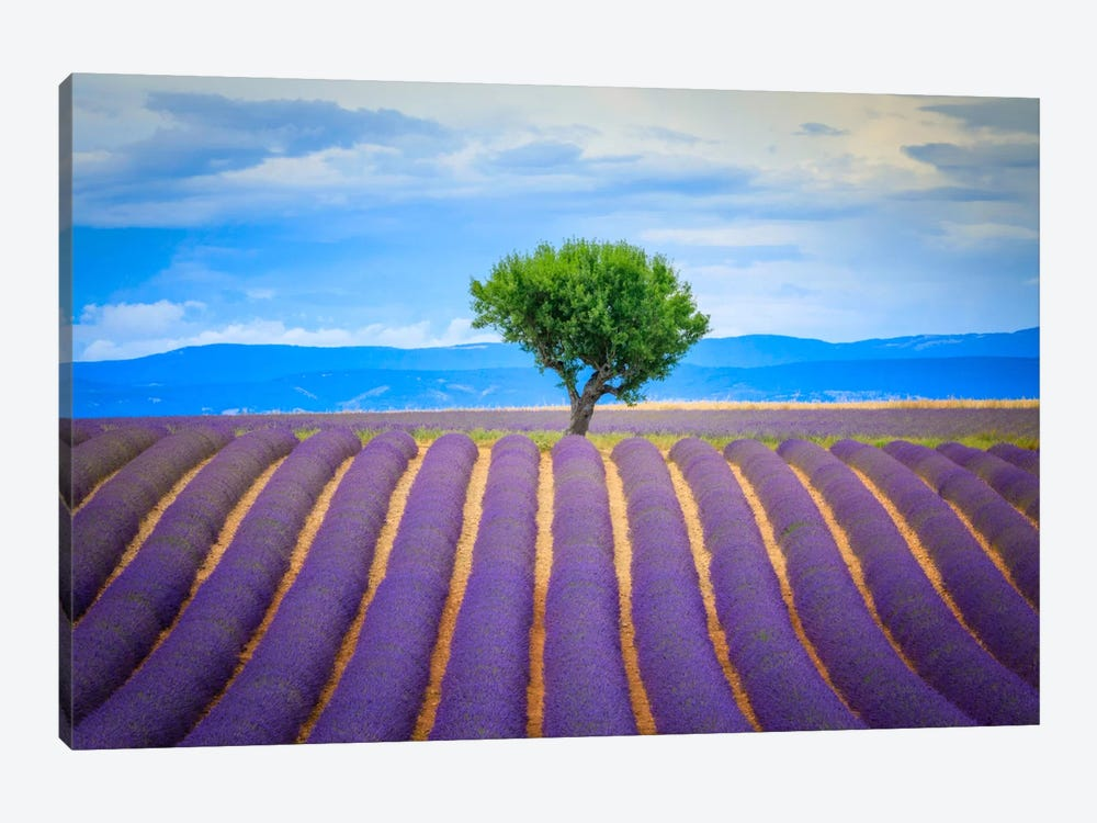 To The Tree, Provence, France by Jim Nilsen 1-piece Canvas Print