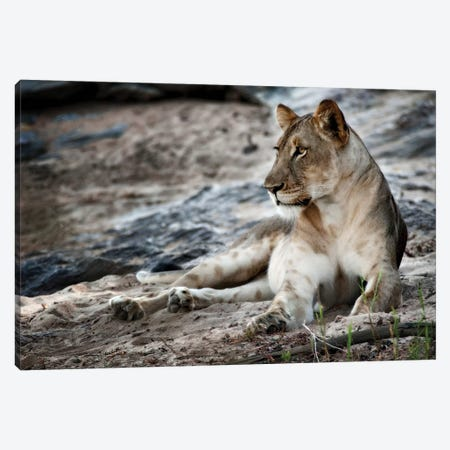 Afternoon Pose Canvas Print #NLP1} by Niassa Lion Project Art Print