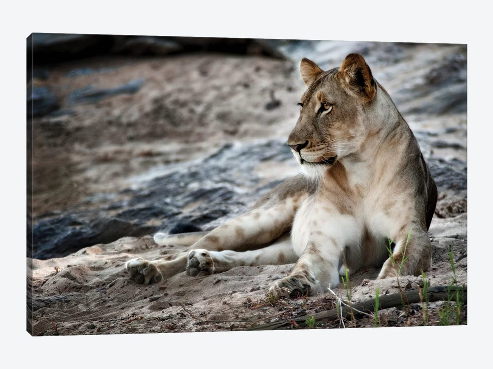 Afternoon Pose by Niassa Lion Project 1-piece Canvas Art Print