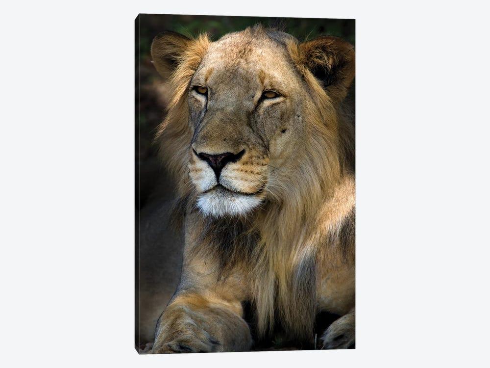 Cape Lion by Niassa Lion Project 1-piece Canvas Art