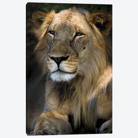 Cape Lion Canvas Print #NLP2} by Niassa Lion Project Canvas Print