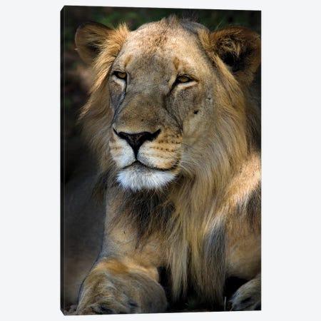Cape Lion Canvas Print #NLP2} by Niassa Lion Project Canvas Print