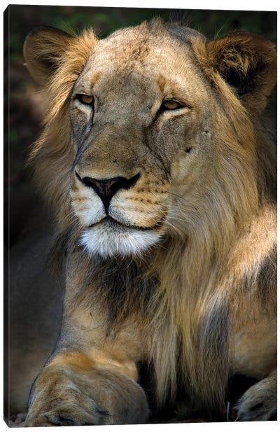 Cape Lion Canvas Art Print