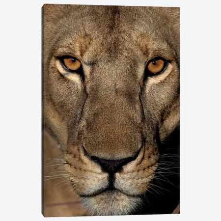 Golden Eyes Canvas Print #NLP3} by Niassa Lion Project Canvas Art Print