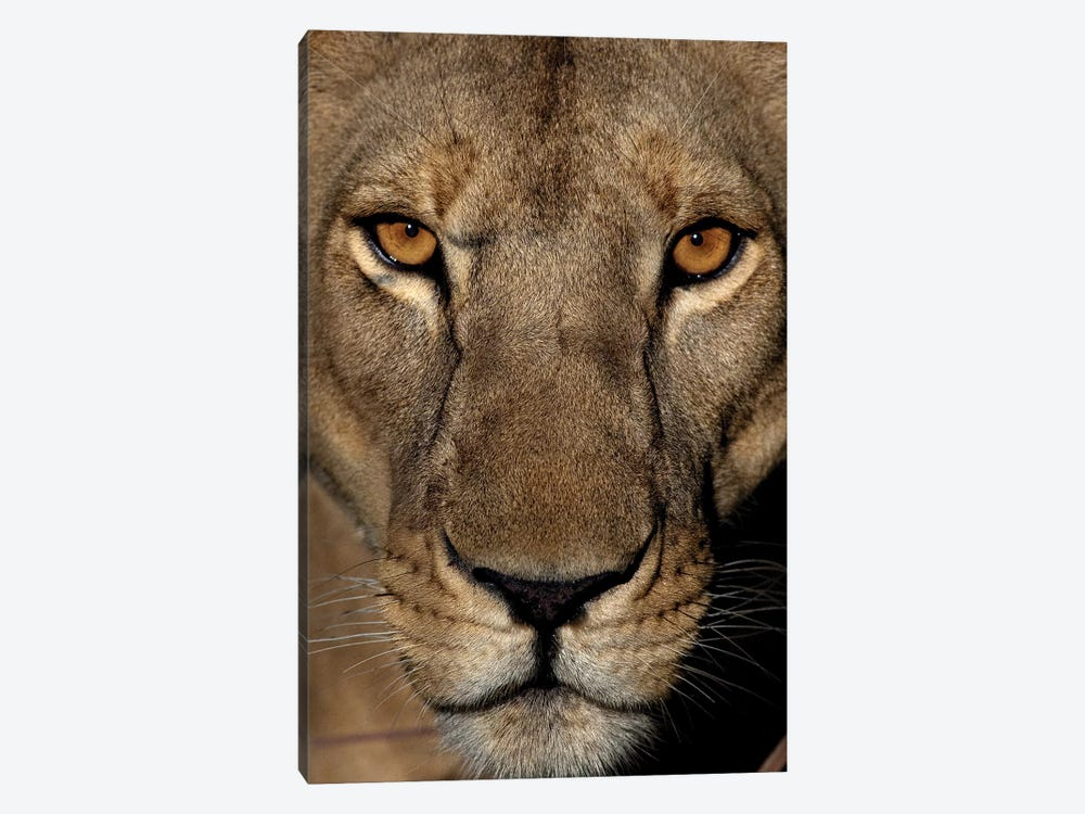 Golden Eyes by Niassa Lion Project 1-piece Art Print