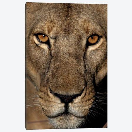 Golden Eyes Canvas Print #NLP3} by Niassa Lion Project Canvas Art Print
