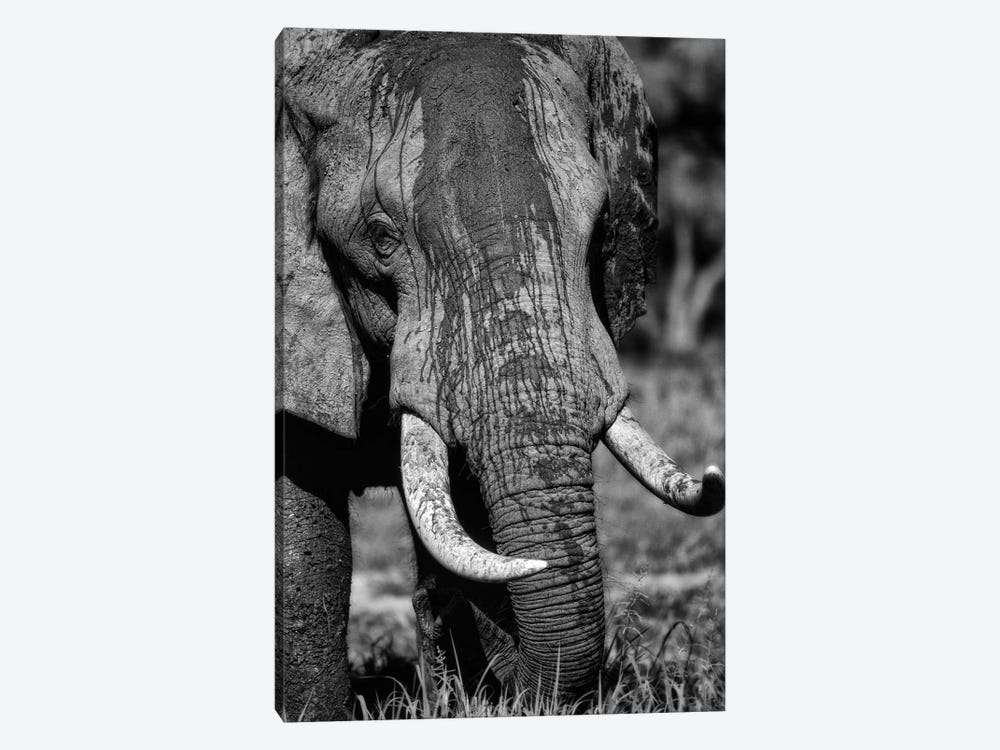 Tusks by Niassa Lion Project 1-piece Canvas Artwork